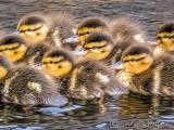 Brood Of Ducklings P1130838crop