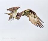 Osprey In Flight P1140072