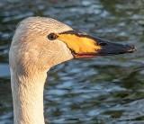 Swan Profile At Sunrise P1140023