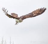 Osprey In Flight P1140071