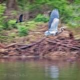 Grackle Chasing Heron P1140286