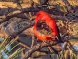 Scarlet Tanager P1140205