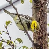 Black Throated Green Warbler P1140327