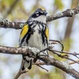 Yellow-rumped Warbler P1140383-4