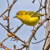 Yellow Warbler P1140428