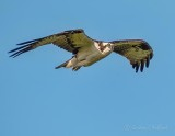 Osprey In Flight P1140439