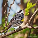 Yellow-rumped Warbler Looking Up P1140530