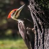 Pileated Woodpecker P1140889