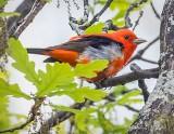 Scarlet Tanager P1150266