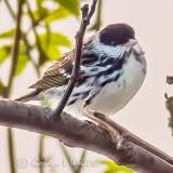 Blackpoll Warbler P1150377