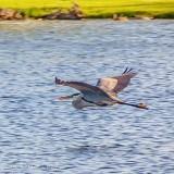 Heron In Flight P1150693
