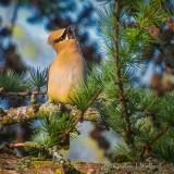 Waxwing In A Pine DSCN33130