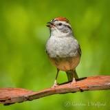 Chipping Sparrow On Rusty Steel DSCN33269