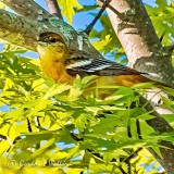 Oriole In A Tree DSCN33232