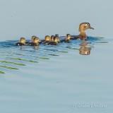 Wood Ducklings DSCN33379