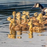 Goslings & Geese DSCN33437