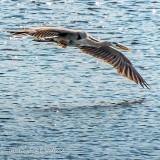 Heron In Flight DSCN33670