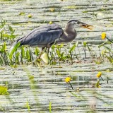 Heron Among Water Lilies With Catch DSCN33646