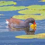 Gallinule Nibbling On A Water Lily Bud DSCN34021
