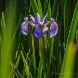 Swamp Iris DSCN34262