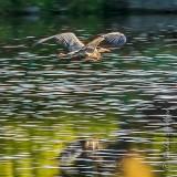 Heron In Flight DSCN34236