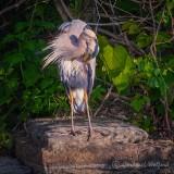 Heron On A Rock Preening DSCN34402