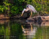 Heron On A Rock Reflected DSCN34702