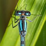 Five-legged Blue Damselfly Close Up DSCN34919