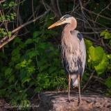Heron On A Rock DSCN34399
