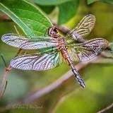 Dragonfly DSCN35027