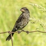Female Red-winged Blackbird On A Fence DSCN35095