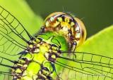 Green Dragonfly Closeup DSCN35284-8 (crop)