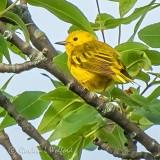 Over The Shoulder Yellow Warbler DSCN35255