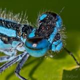 Blue Damselfly Close Up DSCN35416-7 (crop)