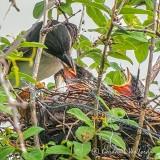 Kingbird Feeding Chicks DSCN35682