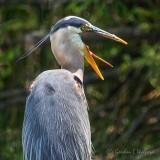 Great Big Heron Yawn DSCN35855