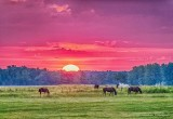 Grazing Horses At Sunrise P1420326-32