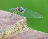 Blue Dragonfly DSCN36073