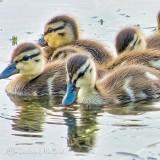 Wet Duckling DSCN35729