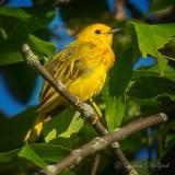 Yellow Warbler DSCN36272