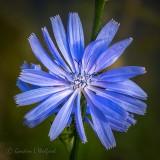 Chicory Flower DSCN35986-8