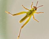 Baby Grasshopper From Below DSCN36508