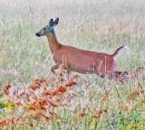 Running Deer P1420793