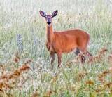 Deer Standing In Meadow P1420785