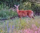 Deer Among Wildflowers P1420802-7