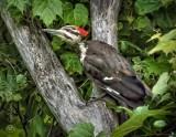 Pileated Woodpecker DSCN37090
