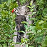 Pileated Woodpecker DSCN37046