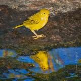 Yellow Warbler Reflected DSCN37399