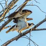 Osprey Taking Flight DSCN37327,4