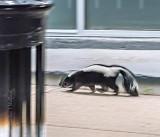 Pedestrian Skunk P1430077